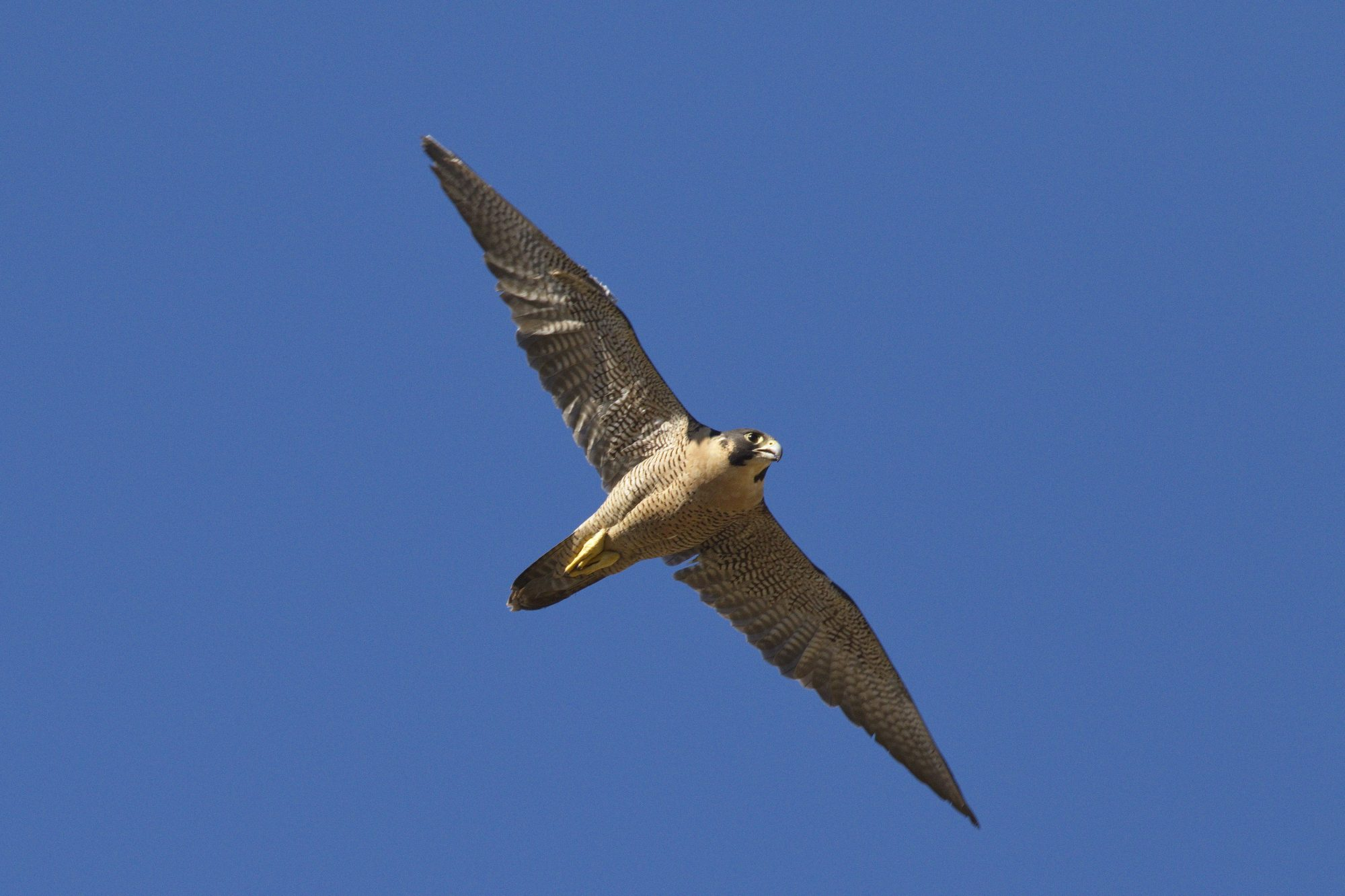 Peregrine Falcon Adult in Flight photo by (c) Stephen H. Vaughan